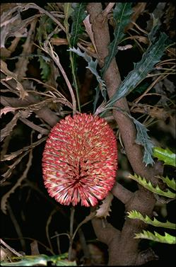 APII jpeg image of Banksia caleyi  © contact APII
