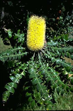 APII jpeg image of Banksia grandis  © contact APII