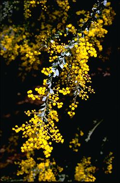 APII jpeg image of Acacia vestita  © contact APII