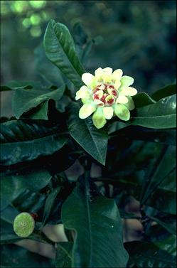 APII jpeg image of Eupomatia bennettii  © contact APII
