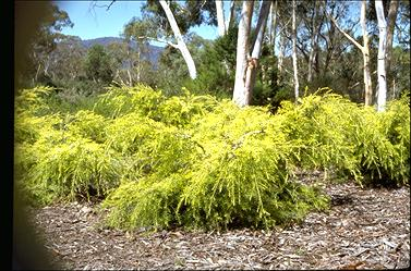APII jpeg image of Melaleuca bracteata 'Golden Gem'  © contact APII
