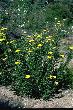 APII jpeg image of Ozothamnus obcordatus  © contact APII