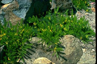 Persoonia chamaepitys plant - ANBG photo a 20669 by Murray Fagg