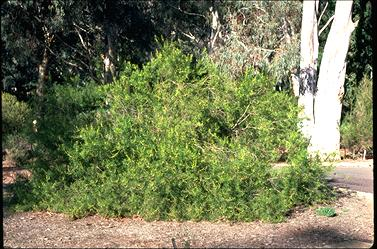 APII jpeg image of Persoonia mollis  © contact APII