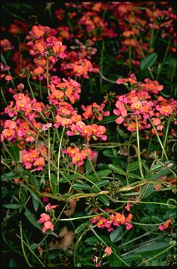 APII jpeg image of Kennedia coccinea  © contact APII