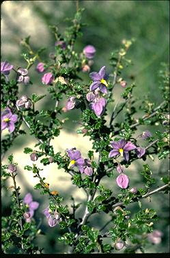 APII jpeg image of Keraudrenia hermanniifolia  © contact APII