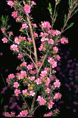 APII jpeg image of Kunzea affinis  © contact APII