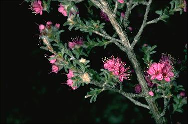 APII jpeg image of Kunzea  © contact APII