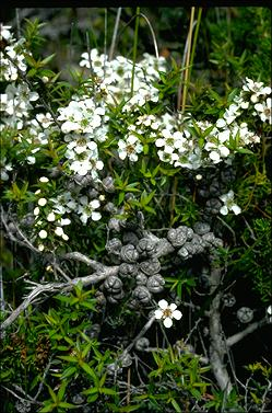 APII jpeg image of Leptospermum juniperum  © contact APII