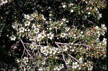 APII jpeg image of Leptospermum polygalifolium 'Pacific Beauty'  © contact APII
