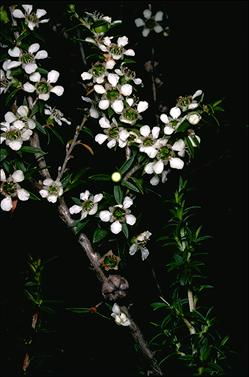APII jpeg image of Leptospermum rupestre  © contact APII