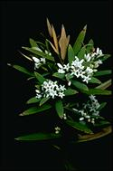 Leucopogon lanceolatus - click for larger image