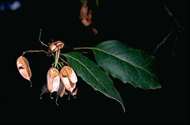 APII jpeg image of Lomatia arborescens  © contact APII