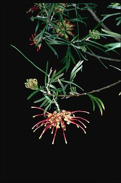 APII jpeg image of Grevillea 'Sid Reynolds'  © contact APII