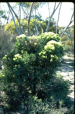 APII jpeg image of Hakea corymbosa  © contact APII