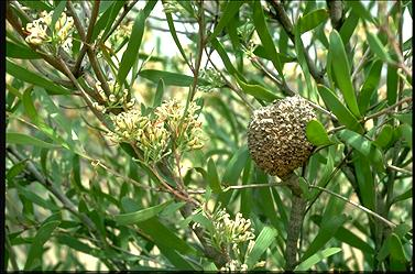 APII jpeg image of Hakea padanicarpa  © contact APII