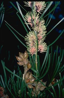APII jpeg image of Hakea pycnoneura  © contact APII