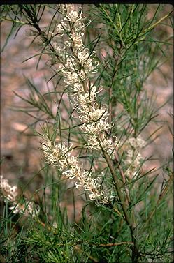 APII jpeg image of Hakea teretifolia  © contact APII