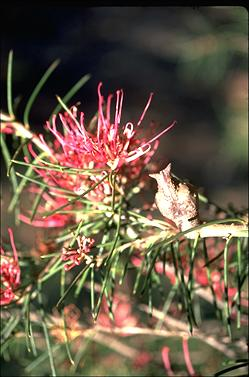 APII jpeg image of Hakea verrucosa  © contact APII