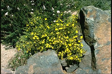 APII jpeg image of Hibbertia calycina  © contact APII