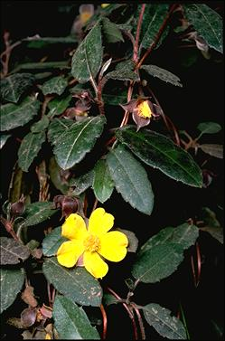 APII jpeg image of Hibbertia dentata  © contact APII