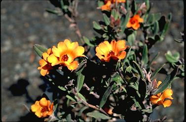 APII jpeg image of Hibbertia mineata  © contact APII