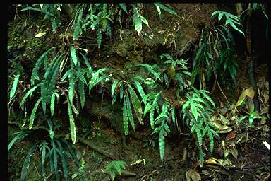 APII jpeg image of Blechnum patersonii  © contact APII