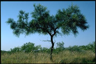 APII jpeg image of Acacia coriacea  © contact APII
