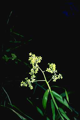 APII jpeg image of Flagellaria indica  © contact APII