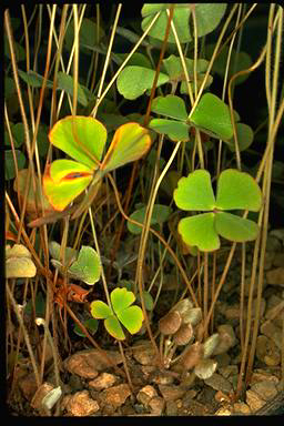 APII jpeg image of Marsilea drummondii  © contact APII