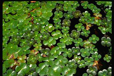 APII jpeg image of Marsilea mutica  © contact APII