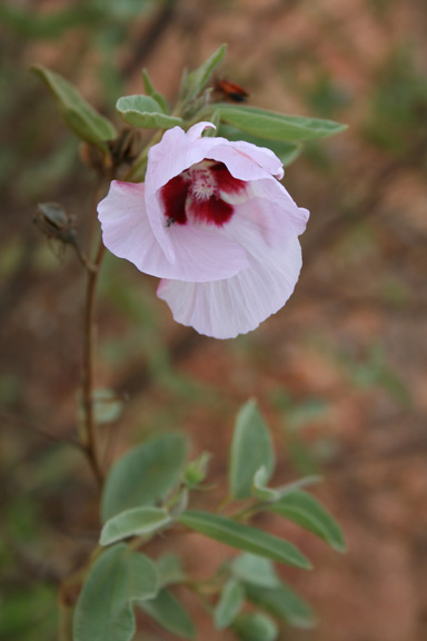 APII jpeg image of Gossypium australe  © contact APII