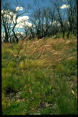 APII jpeg image of Stipa sp.  © contact APII