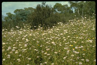 APII jpeg image of Trachymene coerulea  © contact APII