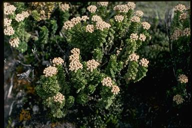 APII jpeg image of Ozothamnus rodwayi  © contact APII