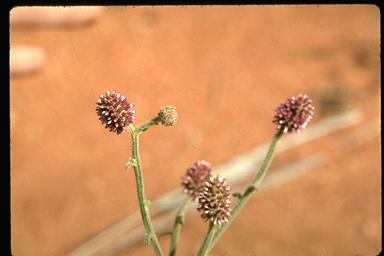 APII jpeg image of Pterocaulon sphacelatum  © contact APII