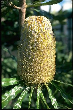 APII jpeg image of Banksia serrata 'Superman'  © contact APII