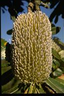Banksia serrata - click for larger image