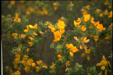 APII jpeg image of Pultenaea elliptica  © contact APII