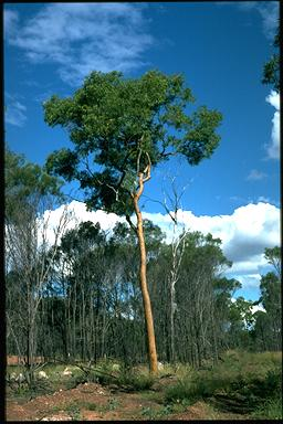 APII jpeg image of Corymbia aureola  © contact APII