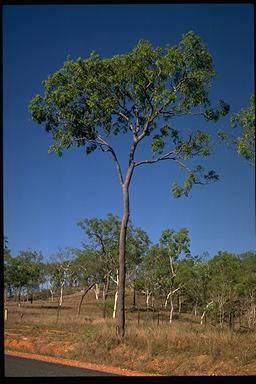 APII jpeg image of Corymbia clarksoniana  © contact APII