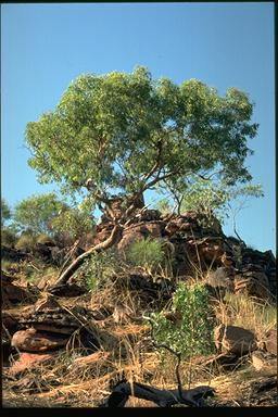 APII jpeg image of Corymbia cliftoniana  © contact APII