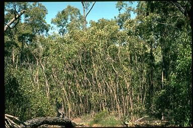 APII jpeg image of Eucalyptus infera  © contact APII