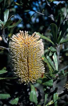 APII jpeg image of Banksia ornata  © contact APII