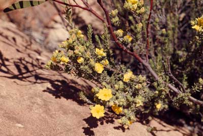 APII jpeg image of Hibbertia sericea  © contact APII