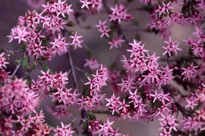 APII jpeg image of Calytrix tetragona  © contact APII