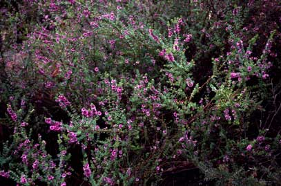 APII jpeg image of Bauera sessiliflora  © contact APII