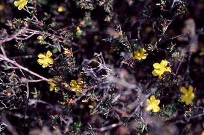 APII jpeg image of Hibbertia cistiflora  © contact APII