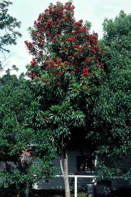 APII jpeg image of Alloxylon flammeum  © contact APII