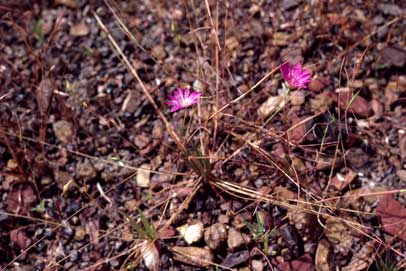 APII jpeg image of Calandrinia uniflora  © contact APII